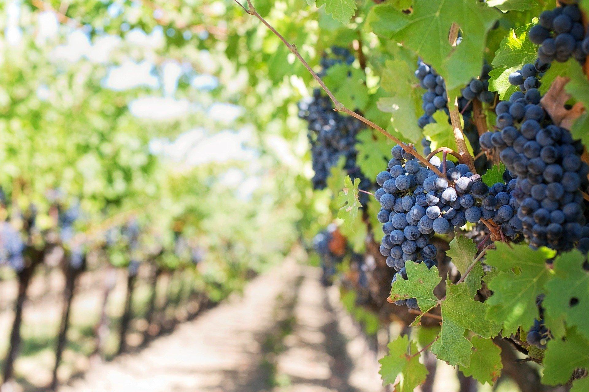 De wijnstok en vruchten - Kees van Velzen